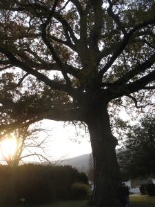 Grand oak tree. (Taken at Ash Lawn-Highland, the home of James Monroe.)